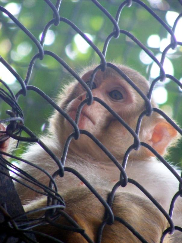 Monkey_patna_zoo