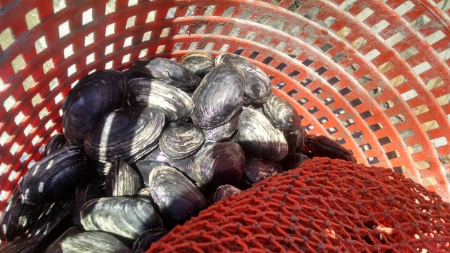 A bushel of freshly-gathered clams